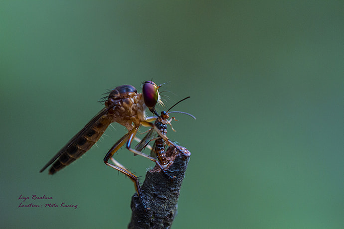 Photograph Robberfly by Liza Rosalina on 500px