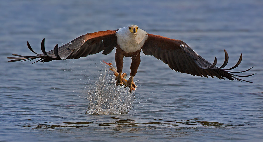 Photograph Fish Eagle with Tiger fish by Francois Retief on 500px