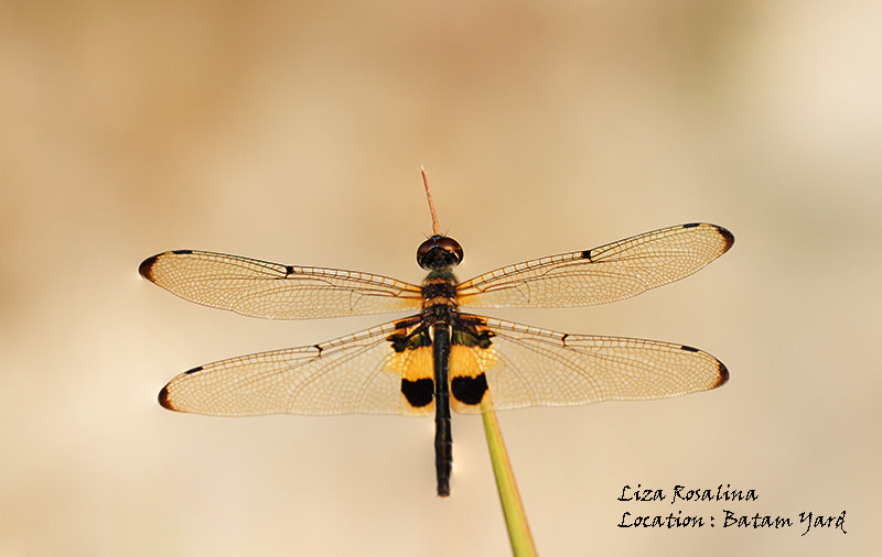 Photograph Yellow-Barred Flutterer (Rhyothemis phyllis) by Liza Rosalina on 500px