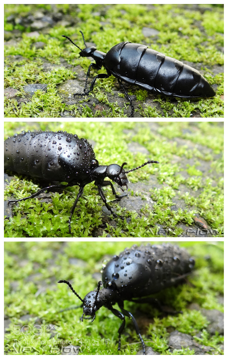 Photograph Oil Beetle by Alex Flowers on 500px
