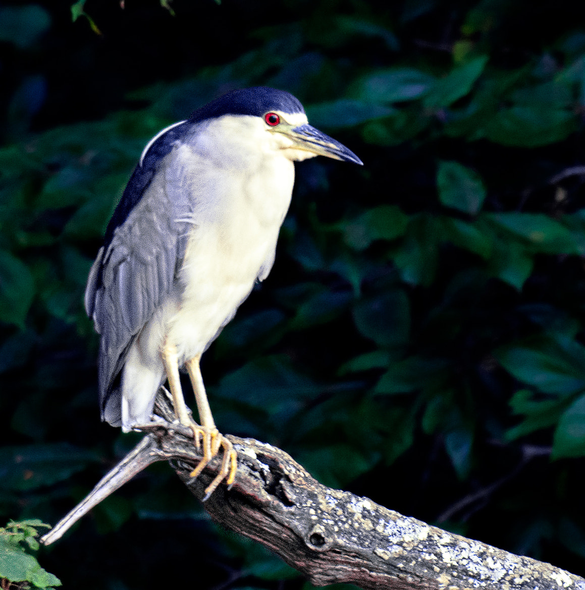 Photograph Black-crowned Night-heron by Myer Bornstein on 500px