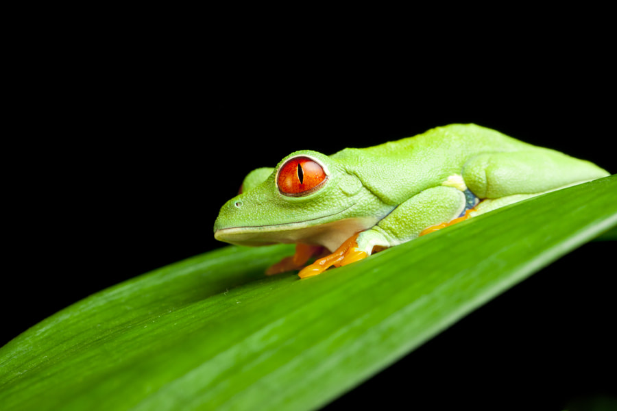 Photograph Red Eyed Green Tree Frog by Ian Schofield on 500px
