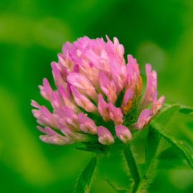 Pink flower by SANDEEP DHUNGANA (sandeepdhungana)) on 500px.com