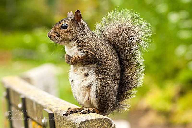 Photograph Squirrel by Jordan R on 500px