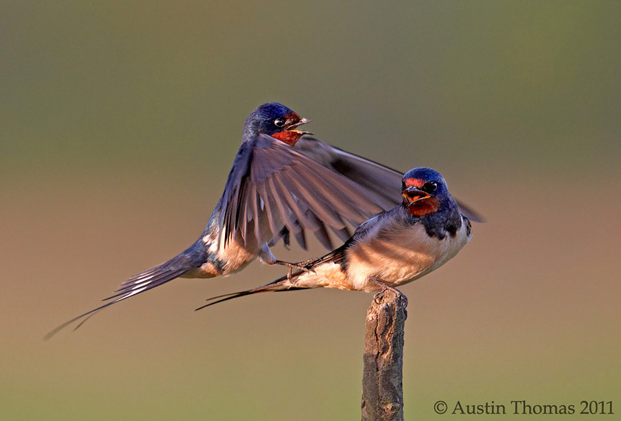 Swallows mating