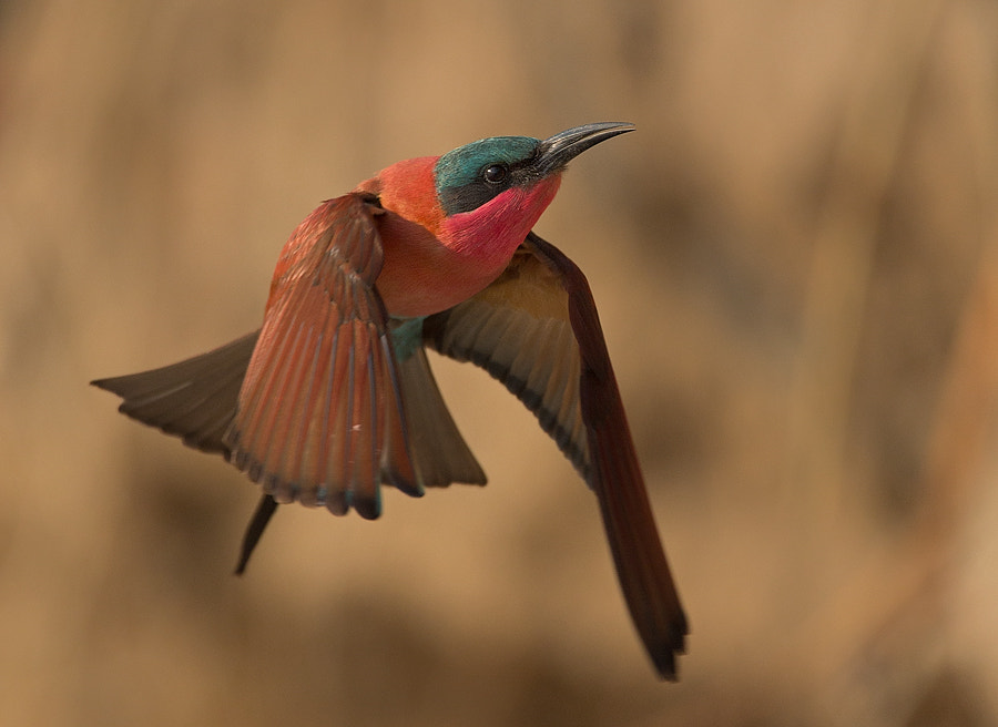 Photograph Southern Carmine Bee-eater  by Francois Retief on 500px