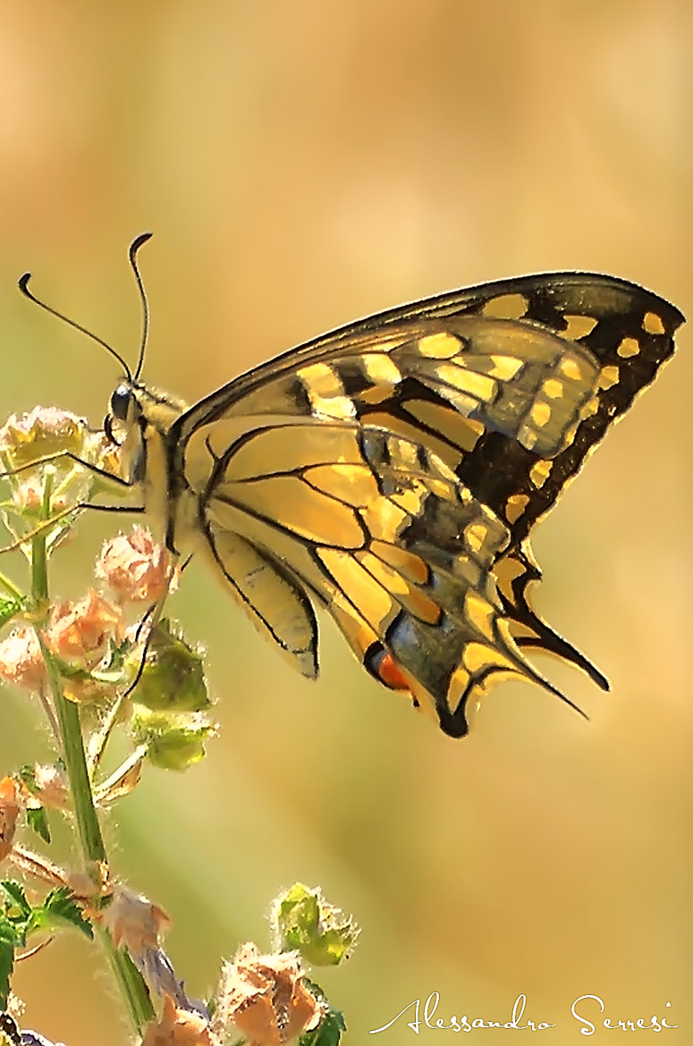 Photograph THE BUTTERFLY by Alessandro Serresi on 500px