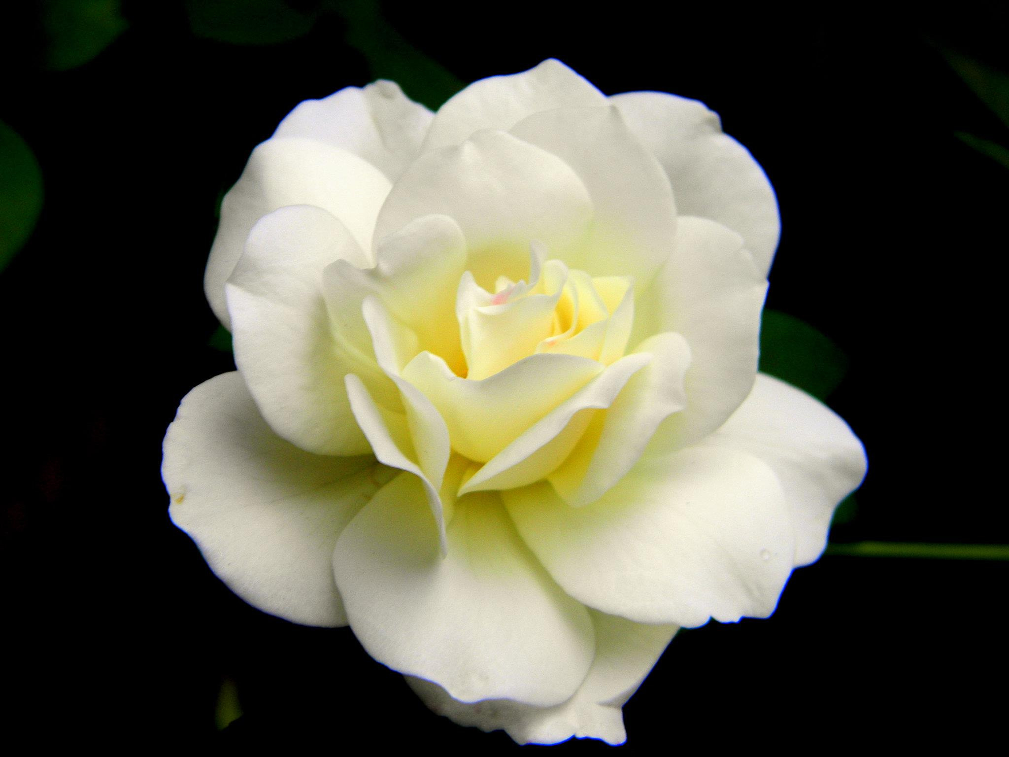 Photograph White Rose :D by Rahul Sudharshan on 500px