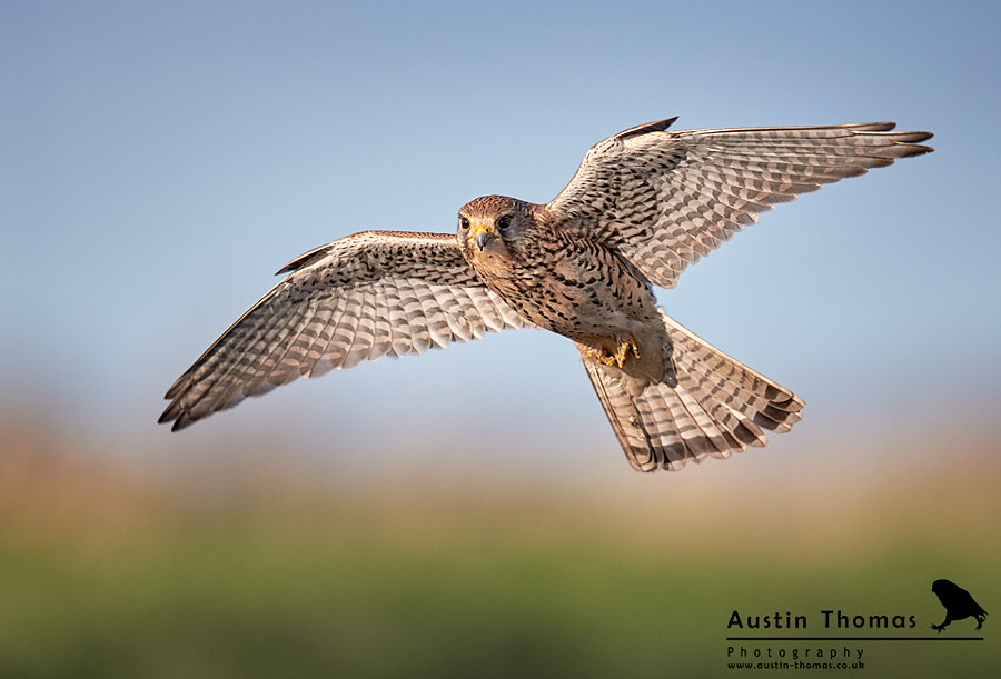 A Kestrel in flight.