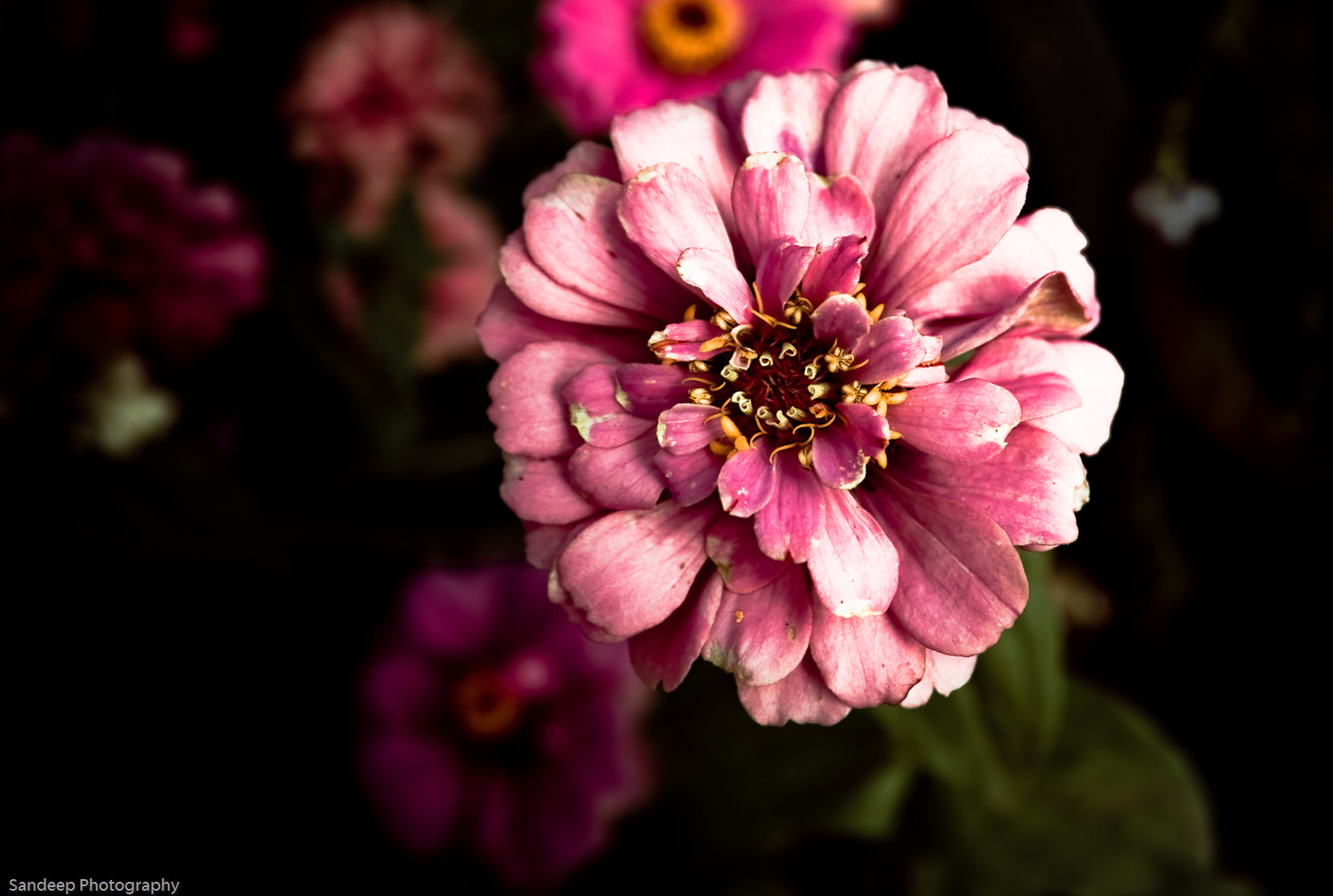 Photograph Pink by Sandeep Rao on 500px