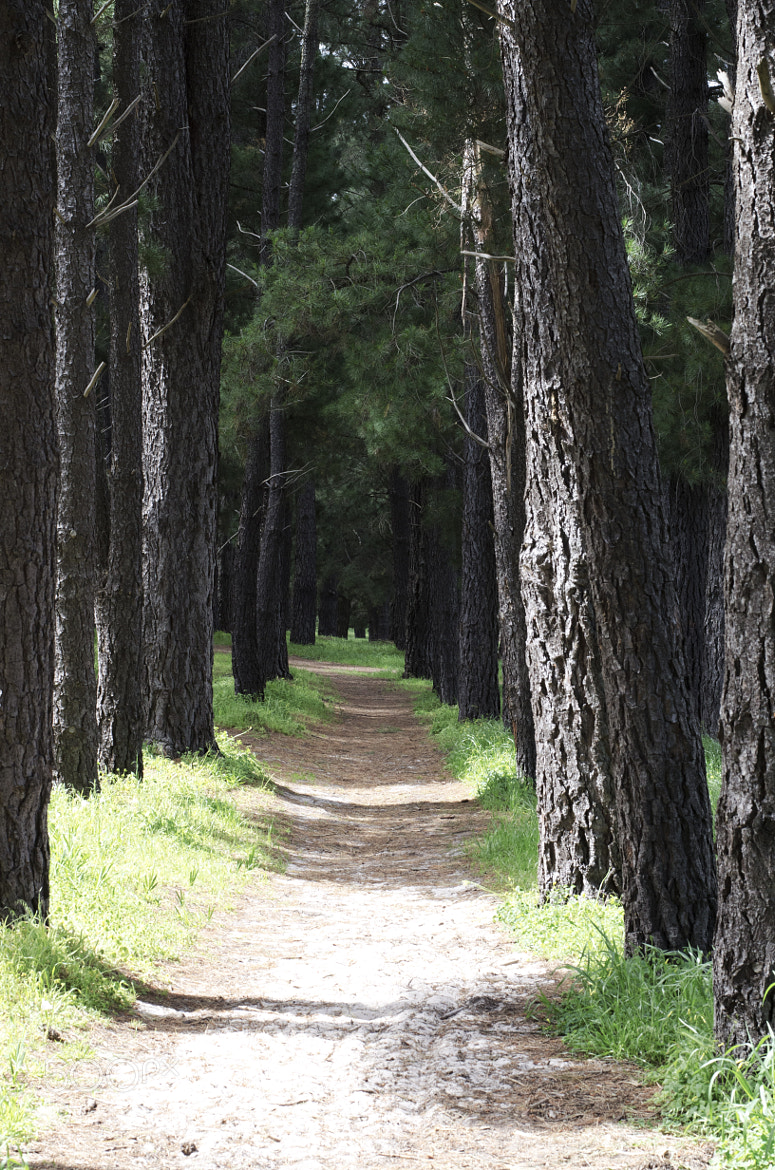 Photograph Path through the Pine by Akil Madman on 500px