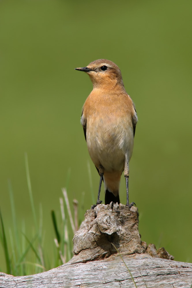 Photograph Northern Wheatear by Nigel  Pye on 500px