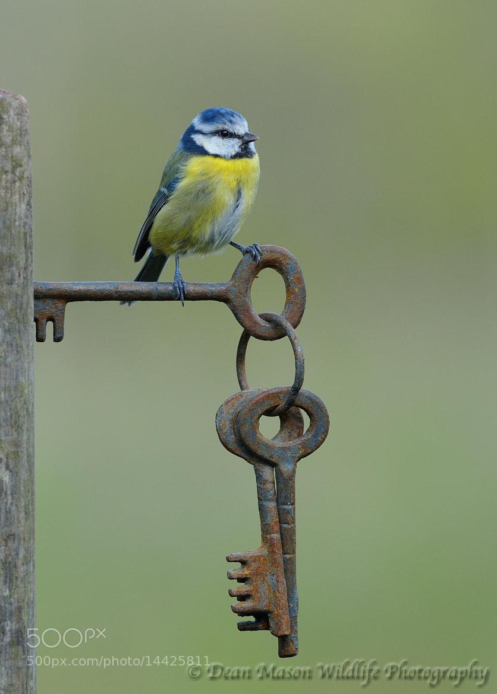 Photograph Blue Tit on Gate Keys by Dean Mason on 500px