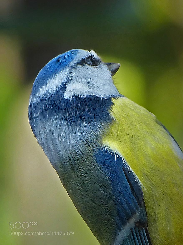 Photograph Mésange  bleue (Lili) by Lovisa Jean-louis on 500px