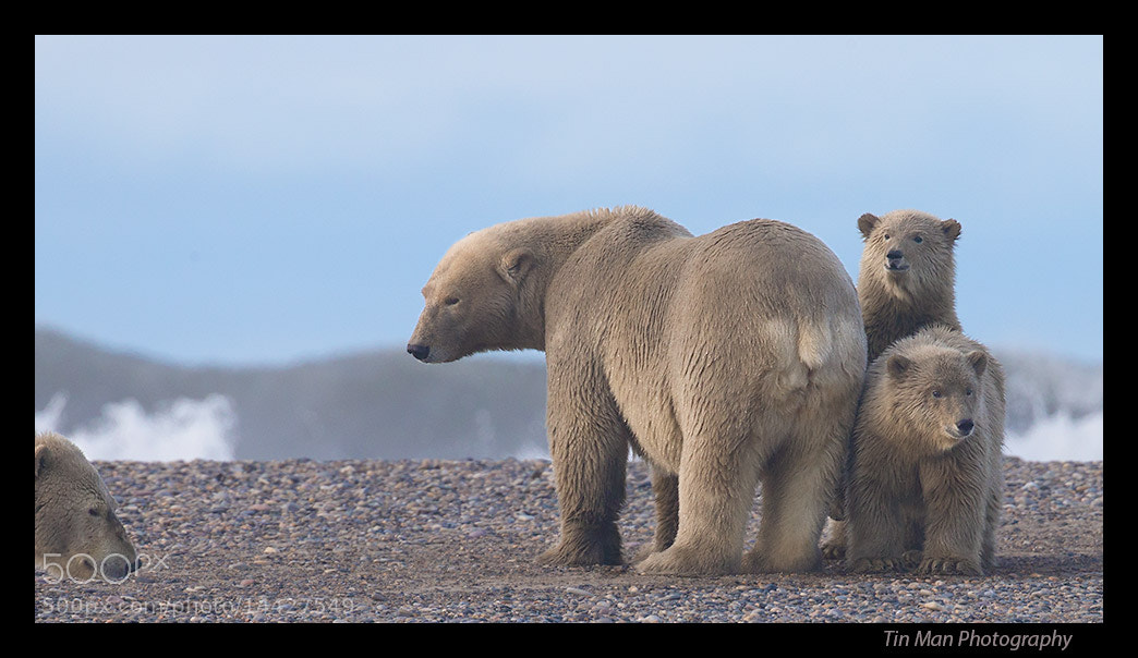 Photograph Polar bear cubs and sow by Tin Man on 500px