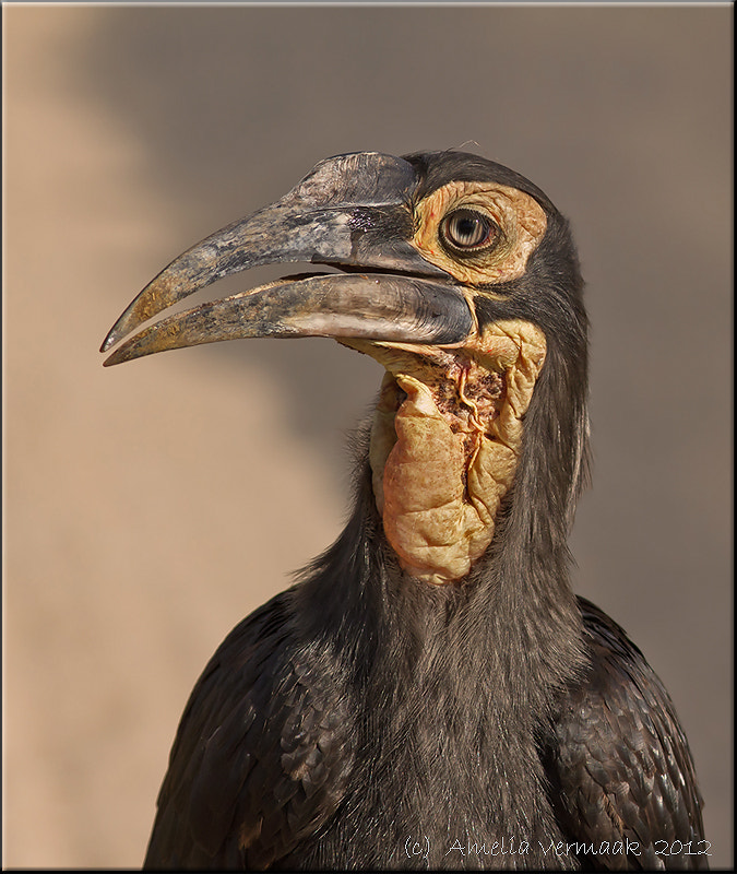 Photograph Juvenile Southern Ground-hornbill by Amelia Vermaak on 500px
