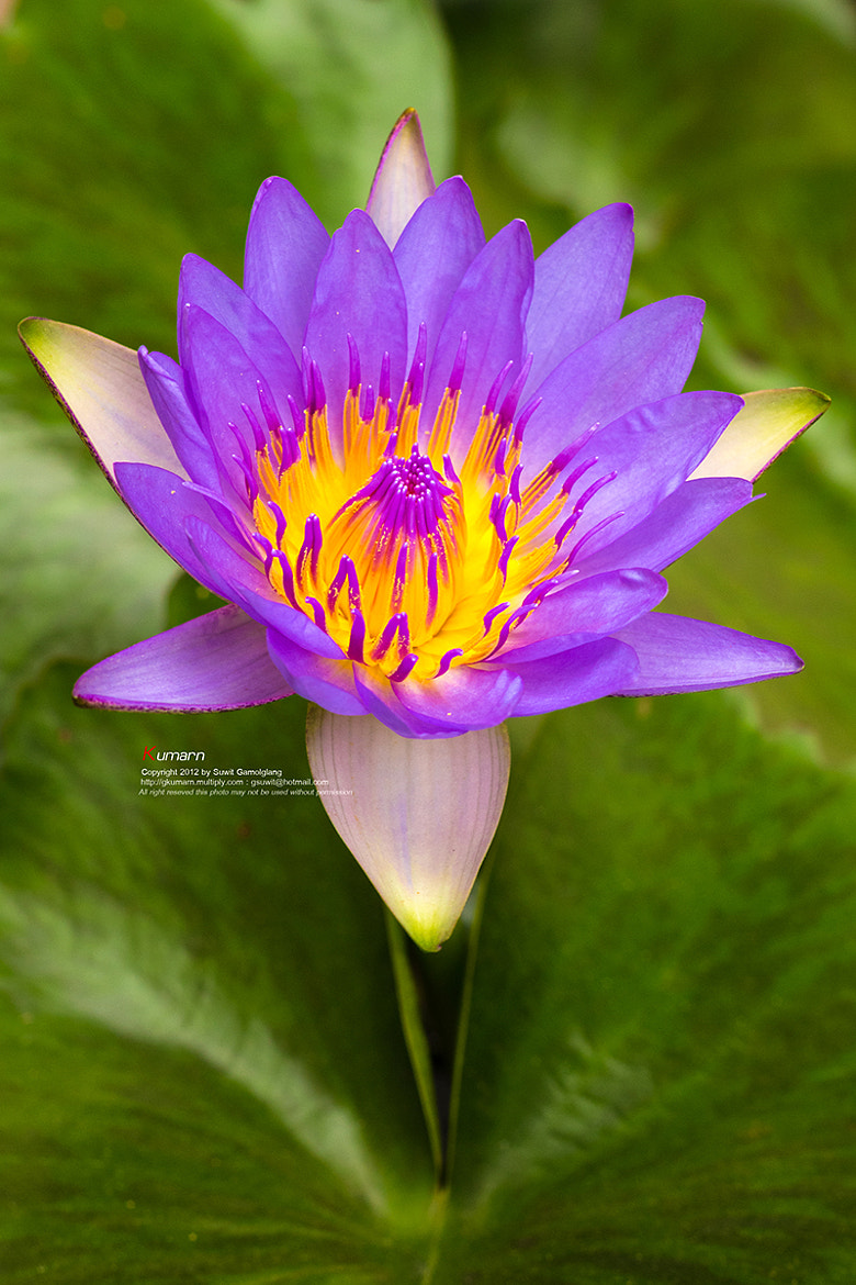 Photograph Violet Lotus by Suwit Gamolglang on 500px
