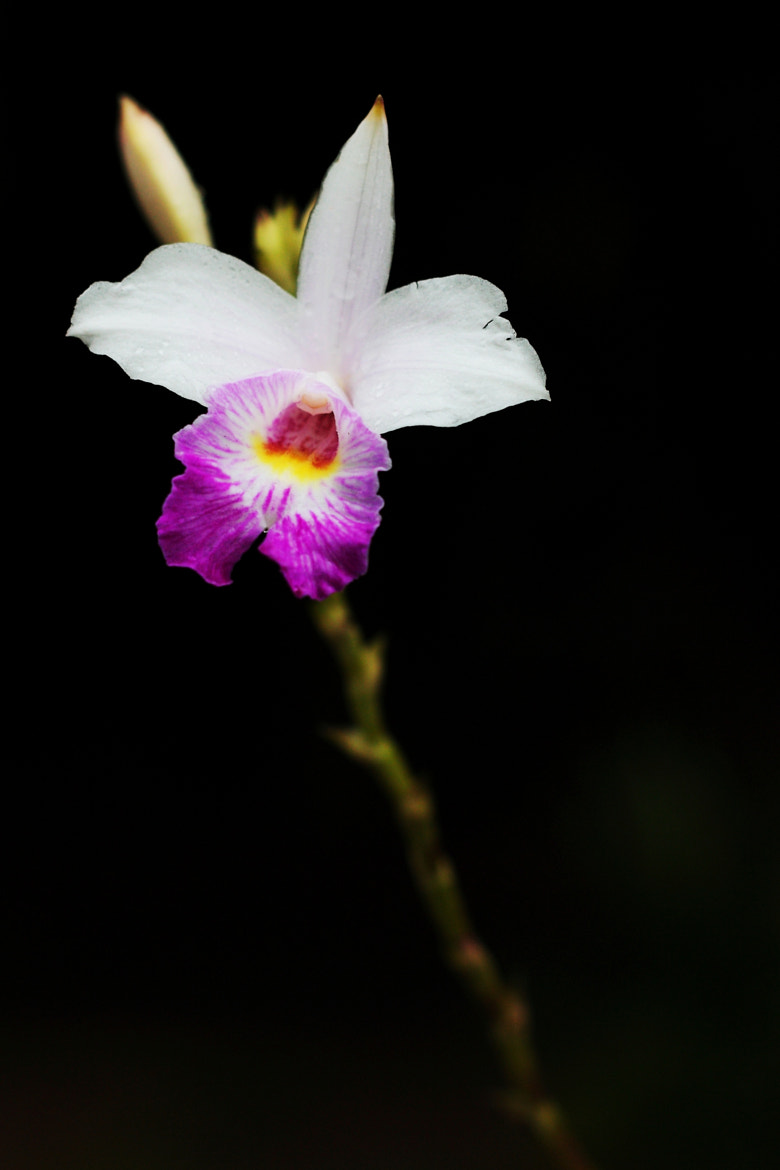 Photograph Orchid by Albert Sy on 500px