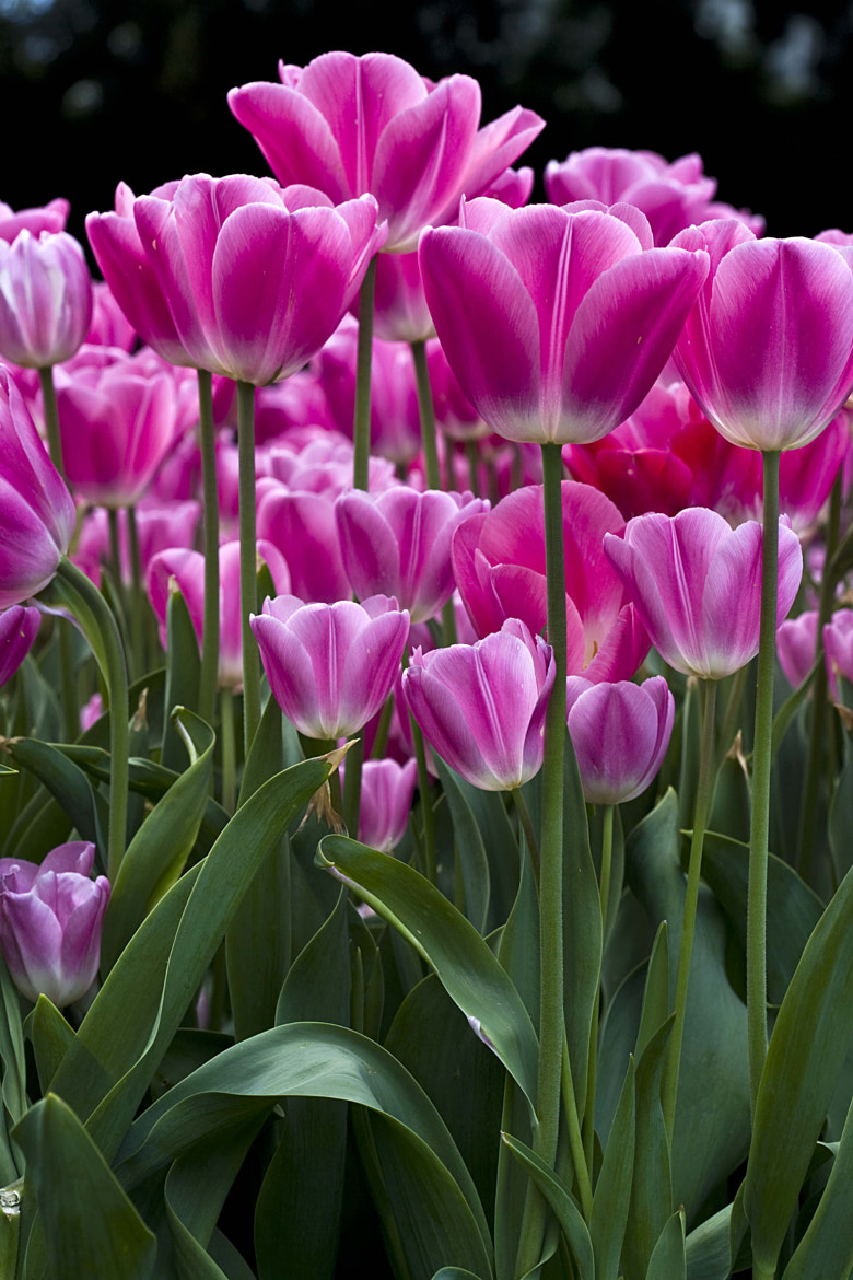 Photograph Tulips by Margaret Morgan on 500px