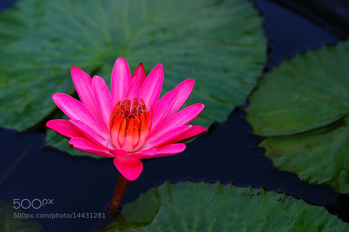 Photograph Water Lily by Young Sung Bae on 500px