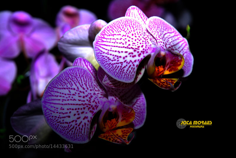 Photograph Orquidea by jota moraes on 500px