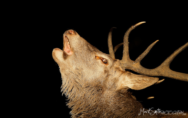 Photograph Roaring Red Deer Stag (Cervus elaphus) by Mark Smith on 500px