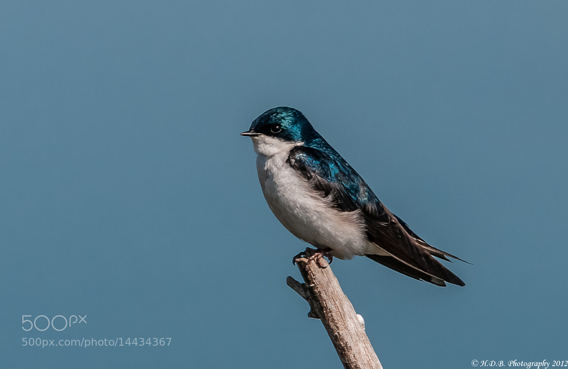 Photograph Tree Swallow by Harold Begun on 500px