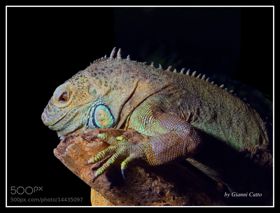 Photograph Iguana by Gianni Catto on 500px
