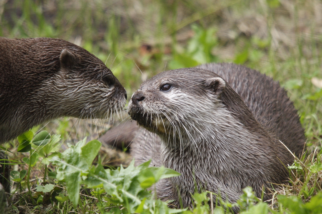 Photograph Asian Short-clawed Otter by Jonathan Nicholson on 500px