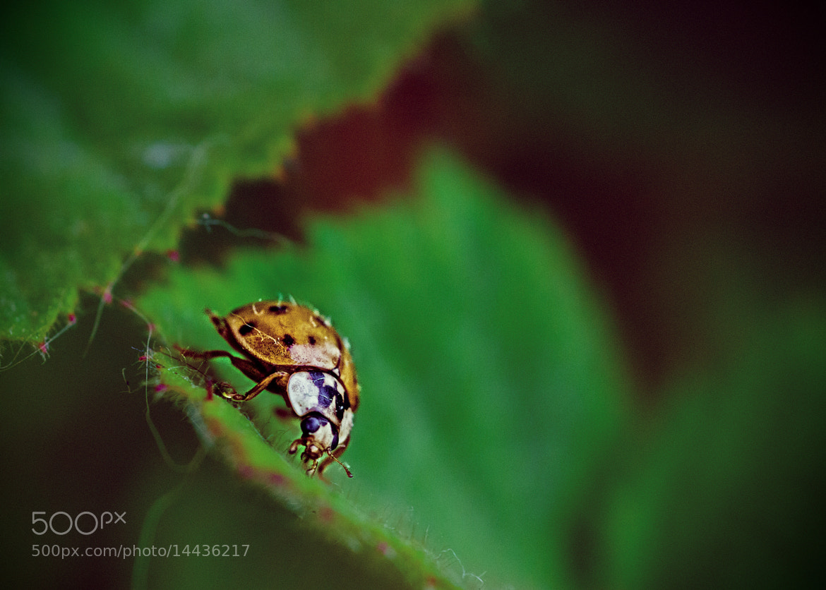 Photograph Ladybug by Ursula Castaldo on 500px