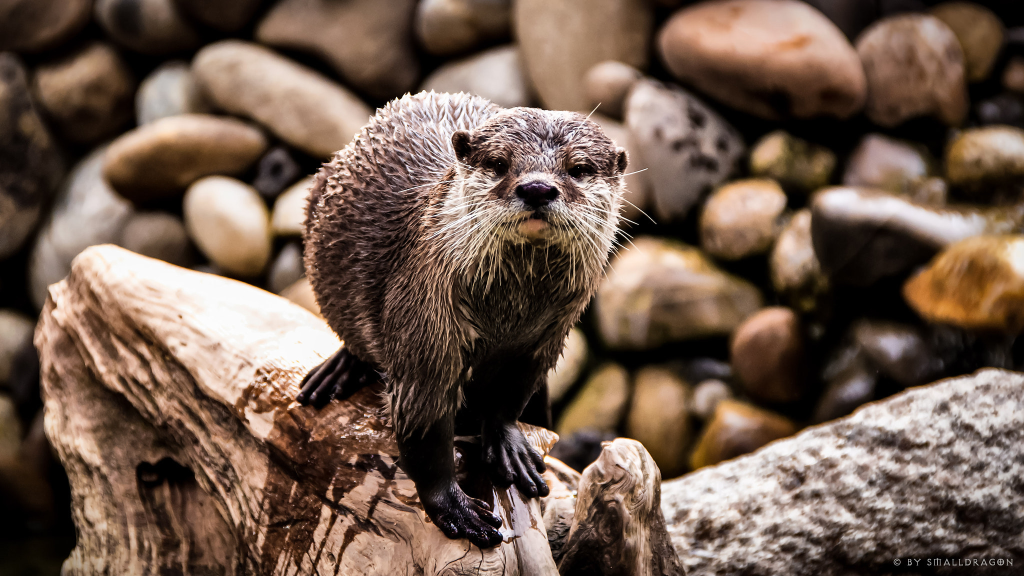 Photograph Otter 03 by Sven Reitis on 500px