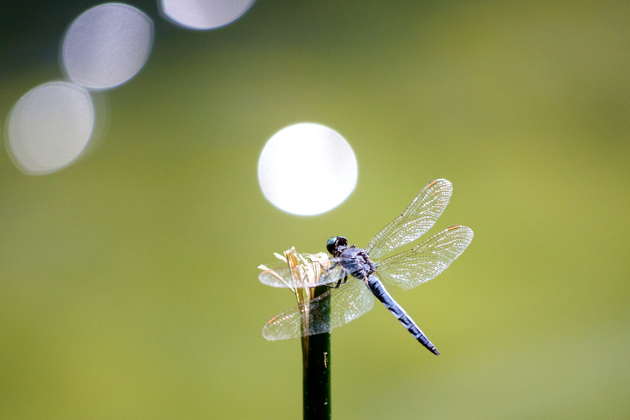 Photograph Dragonfly, Krka, Croatia by Europe Trotter on 500px