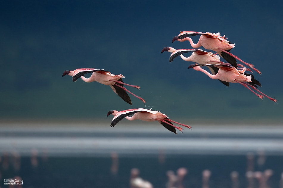 Photograph Flamingos Formation by Roie Galitz on 500px