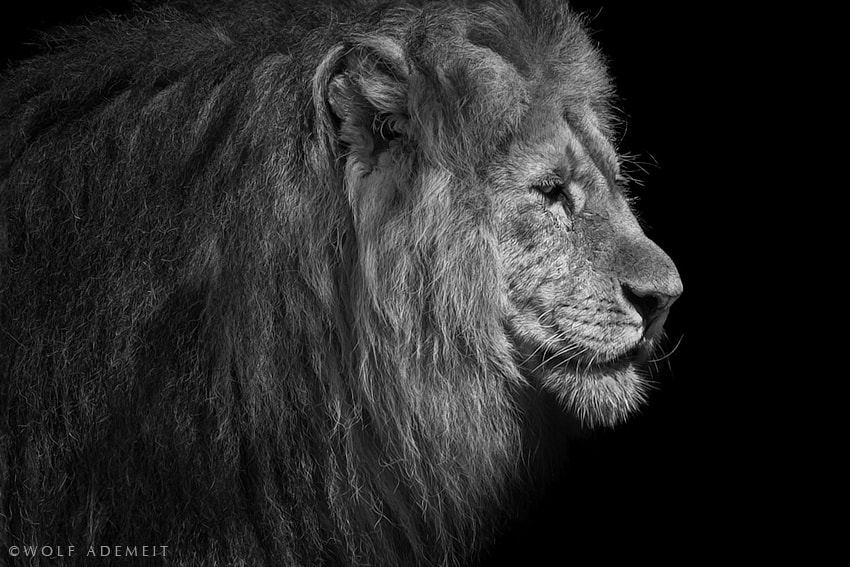 Photograph A LION PORTRAIT by Wolf Ademeit on 500px