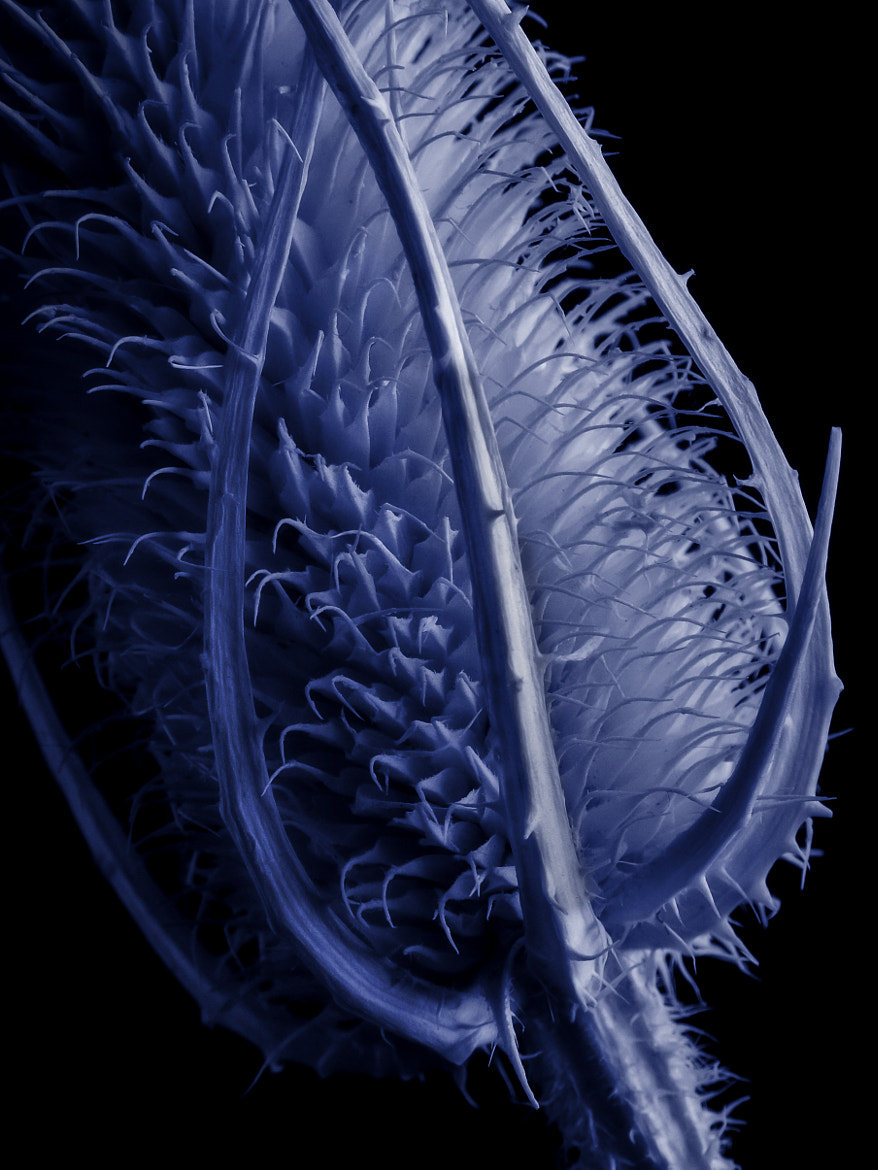 Photograph Blue thistle by Paul Indigo on 500px