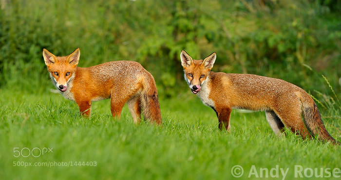 Photograph Tongues together by Andy Rouse on 500px