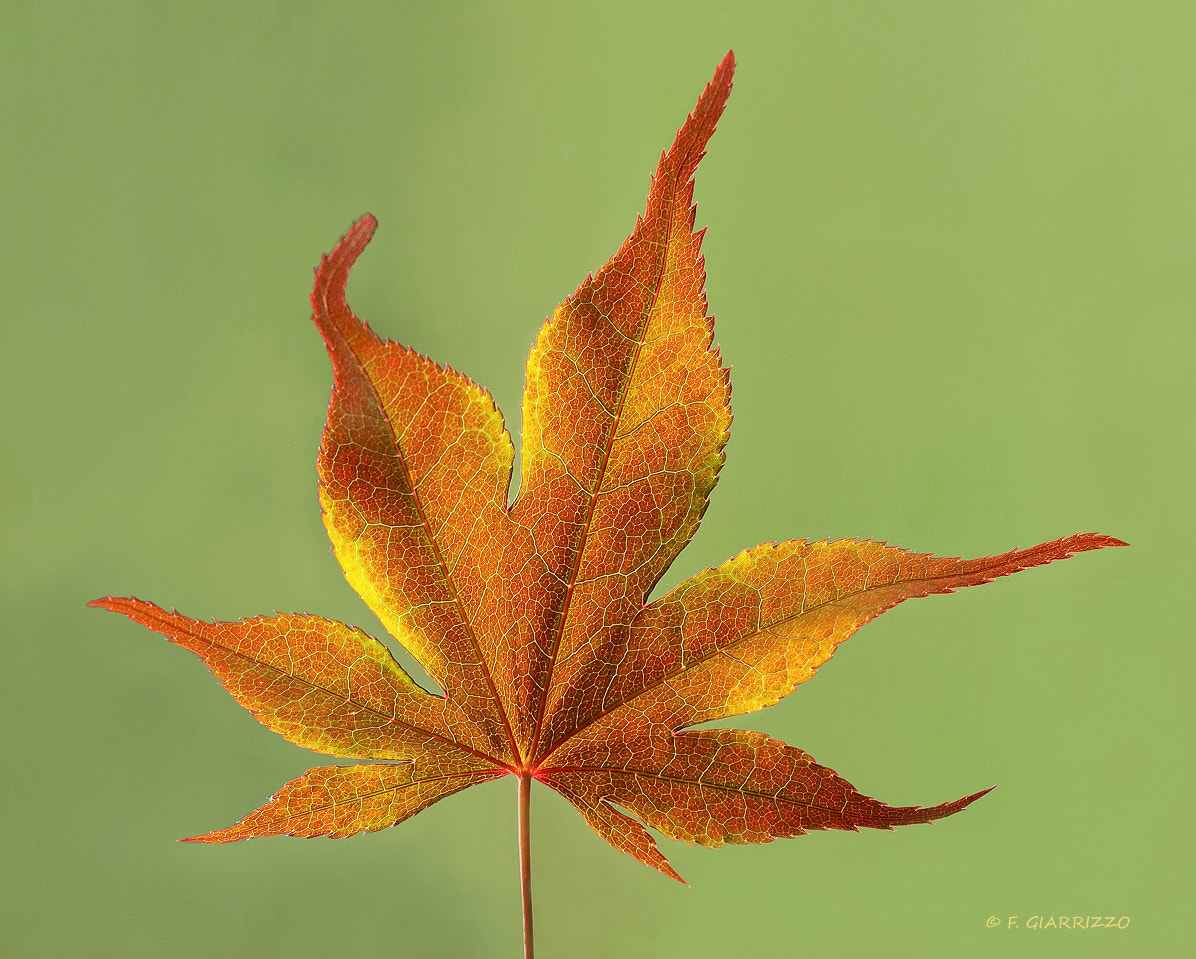 Photograph Japanes maple leaf by Fabio Giarrizzo on 500px