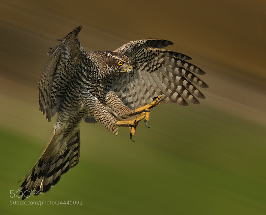 Photograph Goshawk by Ronald Coulter on 500px
