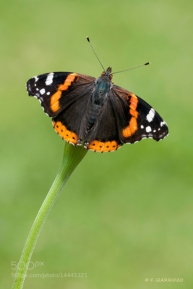 Photograph Vanessa atalanta by Fabio Giarrizzo on 500px