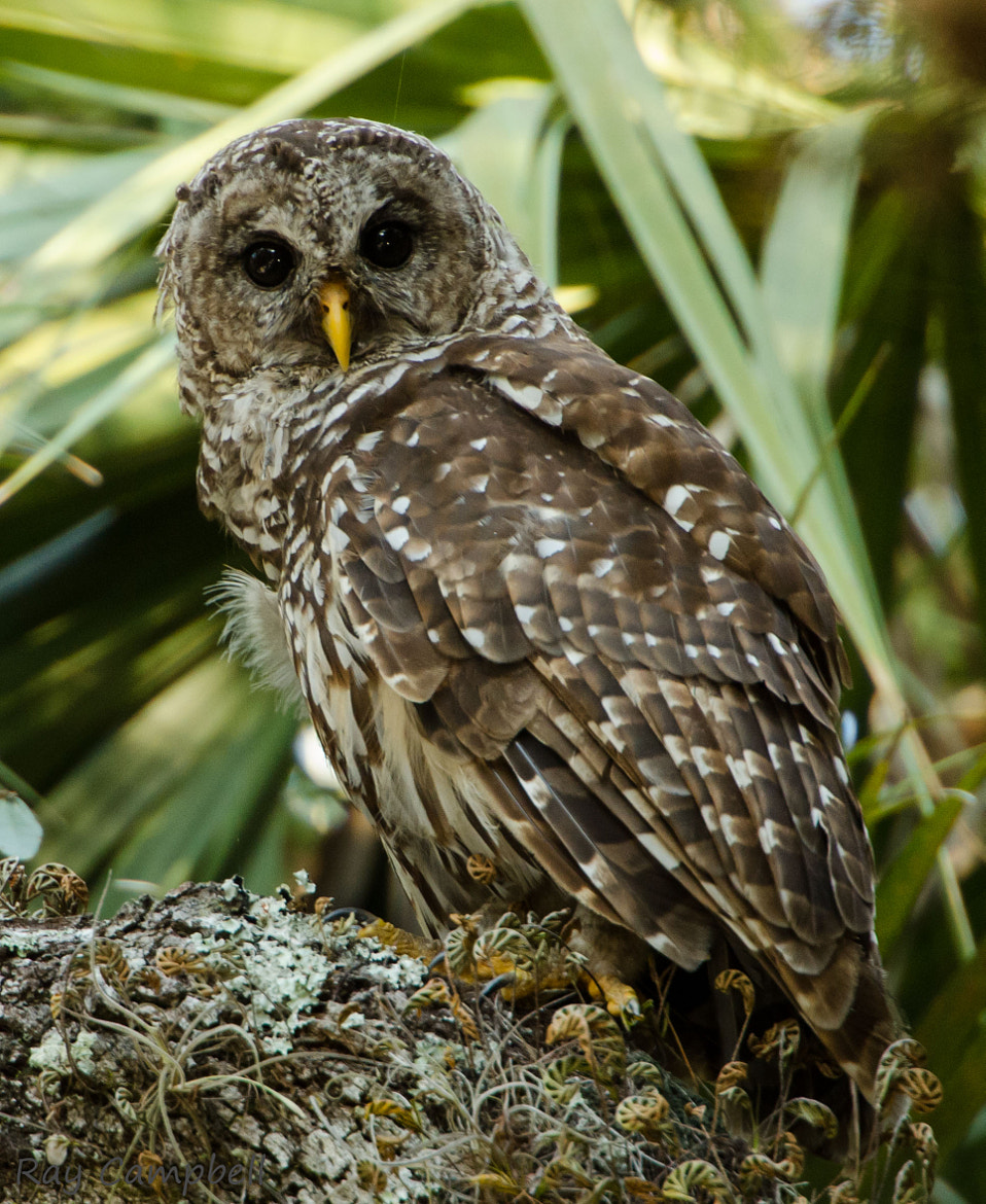 Photograph Barred Owl II by Ray Campbell on 500px