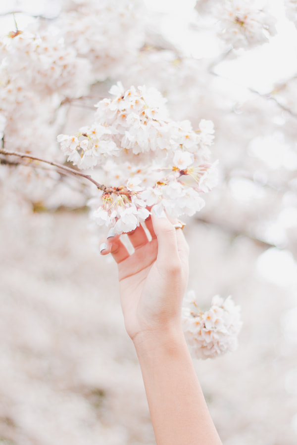 Spring Cherry Blossoms by Isaiah Suko on 500px.com