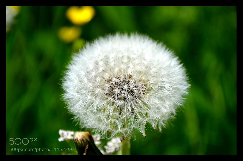 Photograph dandelion by Simona Ciglenean (Susino) on 500px