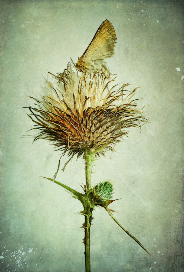 Photograph Thistle & Moth by Adrian Mills on 500px