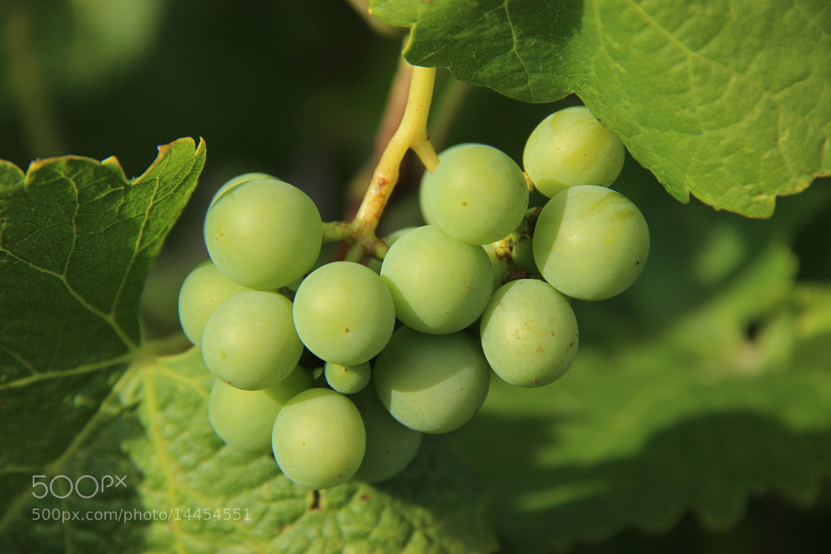 Photograph Green Grapes between Green Leaves by John Win on 500px