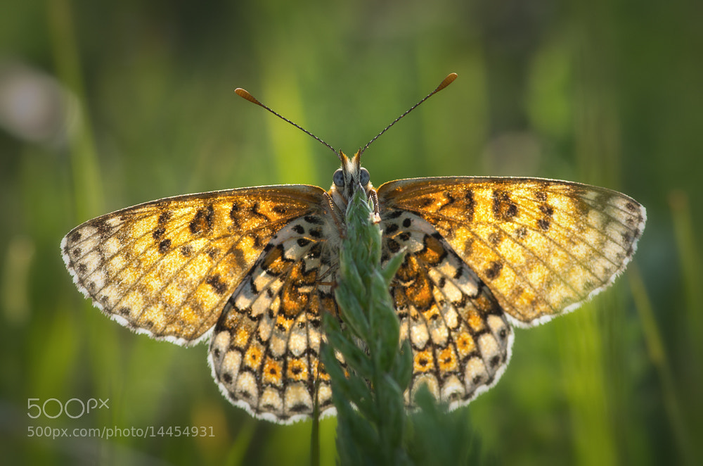 Photograph Fritillary by Adrian Mills on 500px