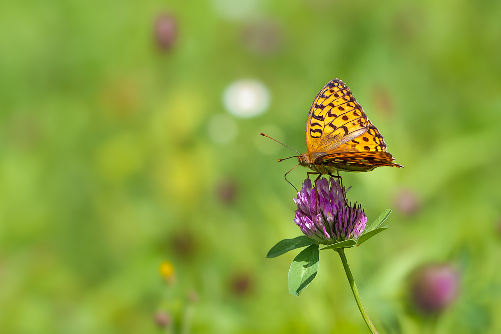 Photograph  Argynnis lathonia by Hubertus Zink on 500px