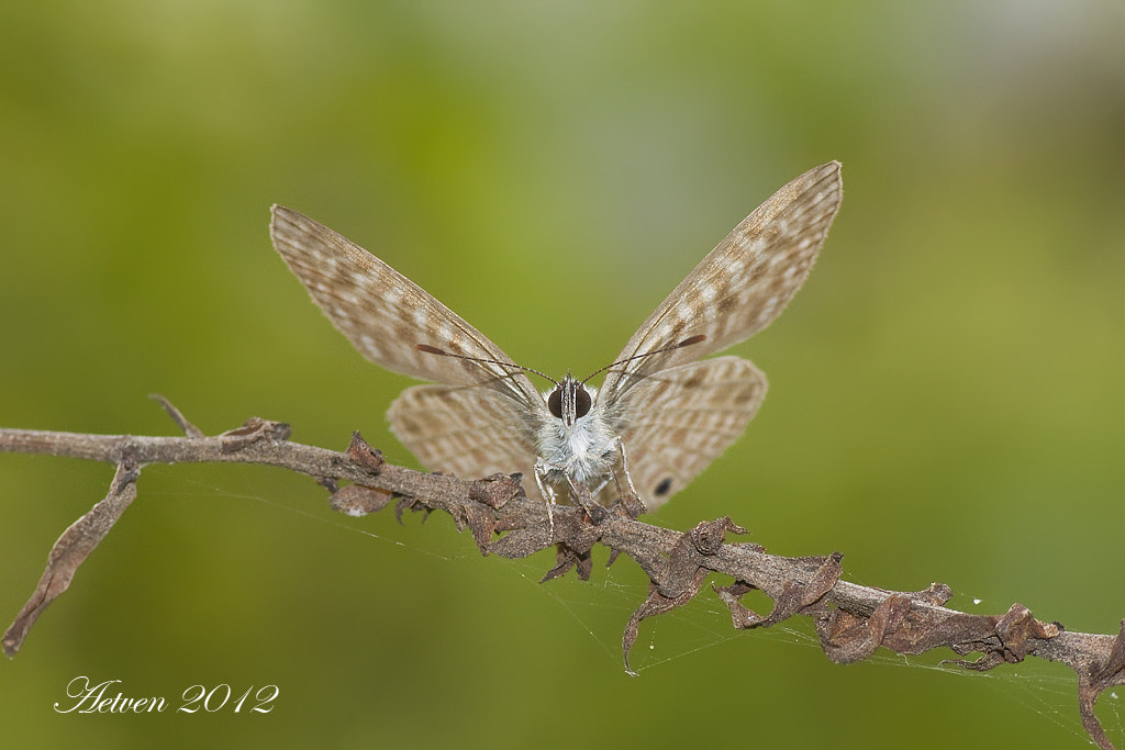 Photograph Leptotes pirithous by Antonio T.V. on 500px