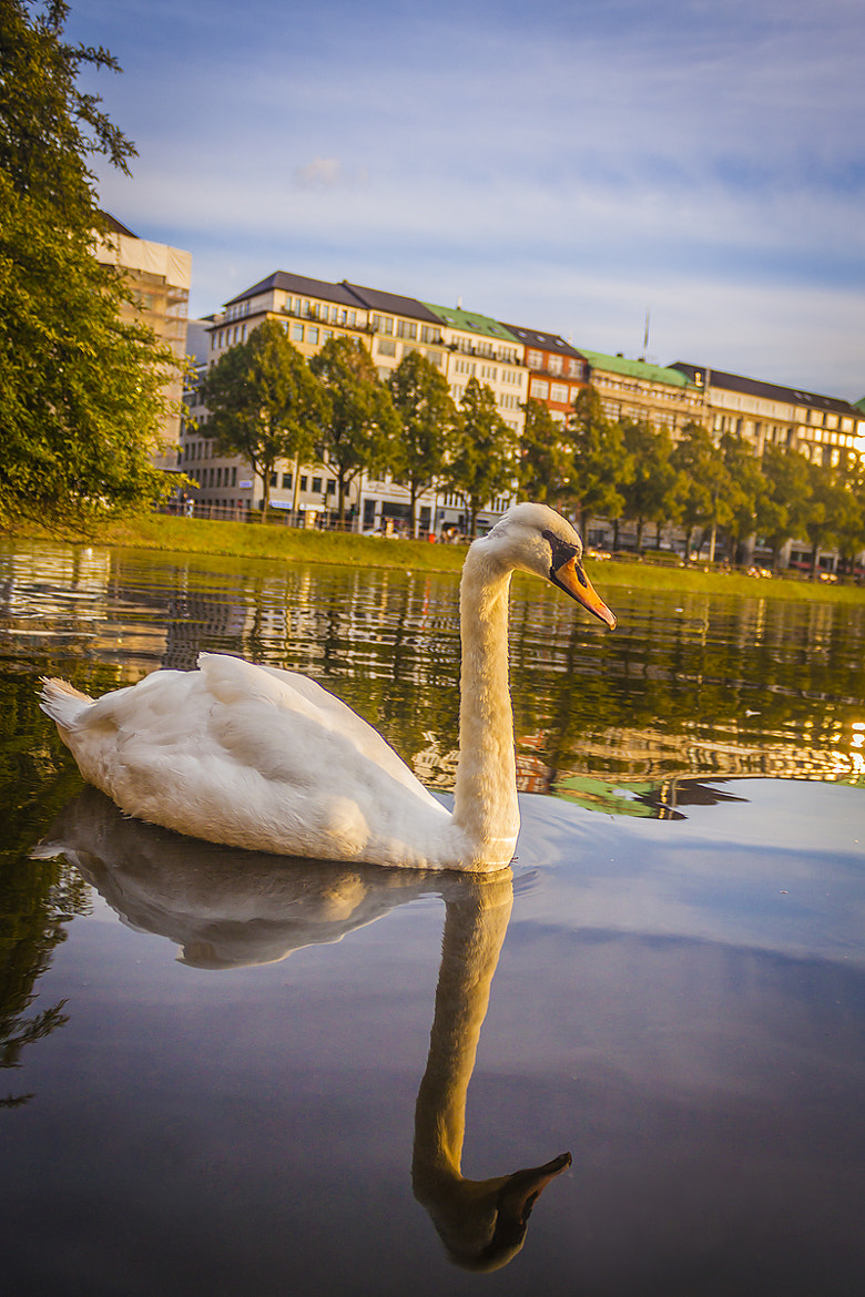 Photograph Alsterschwan by Tommaso Maiocchi on 500px