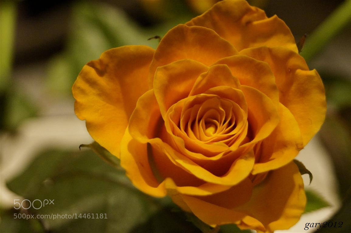 Photograph Yellow Rose by Gary Salcedo on 500px