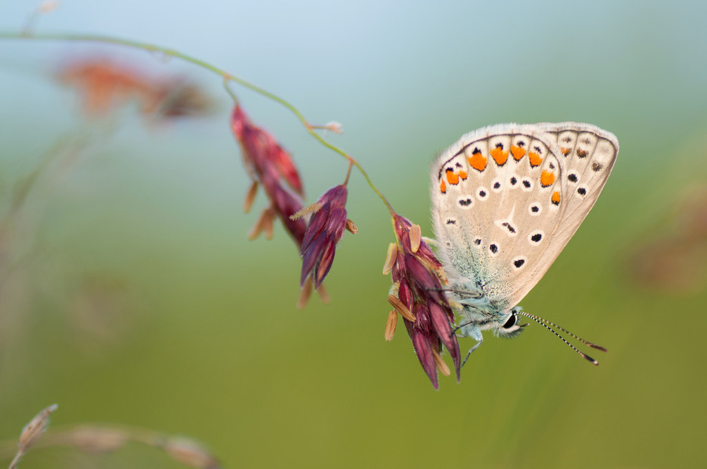 Photograph Lycaenid IV by Umberto Salvagnin on 500px